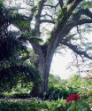 The Saman Tree